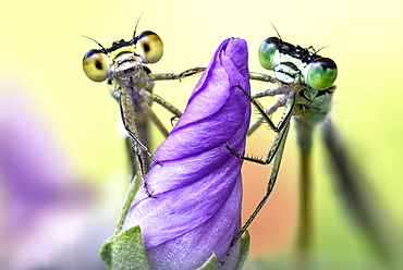 two damselflies on a wild flower