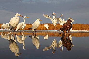 Young White-tailed Eagle (Haliaeetus albicilla) and Great Egrets on a pond in winter , Hungary
