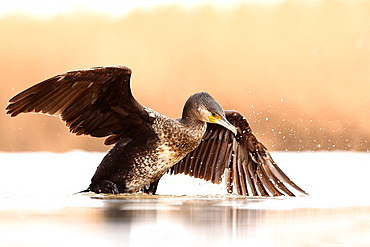 Great Cormorant (Phalacrocorax carbo) wings spread on the surface of a pond in winter, Hungary