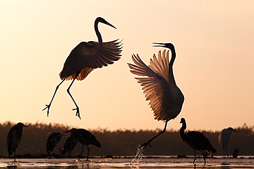 Great Egret ( Egretta alba ) fighting and Grey heron (Ardea cinerea) on a pond in winter , Hungary