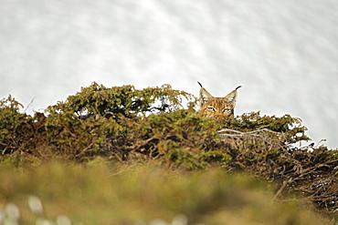 Eurasian lynx (Lynx lynx) hidden in bushes, Vaud alps, Switzerland