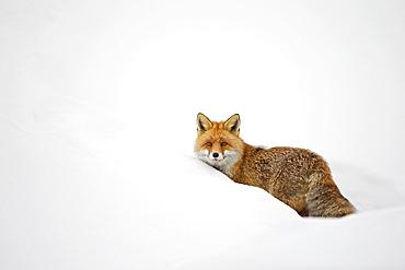 Red fox (Vulpes vulpes) walking in snow in winter