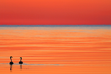 Whooper swan (Cygnus cygnus) at dusk on Baltic Sea, Sweden