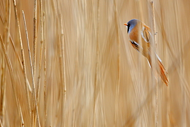 Bearded Tit (Panurus biarmicus) on reed, Hauts de France, France