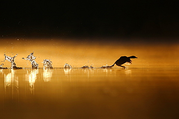 Little Grebe (Tachybaptus ruficollis) flying from the water surface at dawn, Grand Est, France