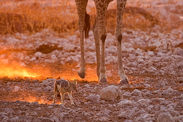 Black-backed jackal (Canis mesomelas) in the dust against the light in the legs of a Giraffe (Giraffa camelopardalis) at sunset, Namibia