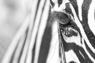 Portrait of Zebra (Equus sp) with stripes in the background Namibia