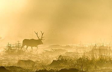 Red Deer (Cervus elaphus) walking in the fog against the light at dawn, Ardennes, Belgium
