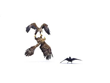 White-tailed Eagle (Haliaeetus albicilla) courtship behavior and Raven (Corvus corax) in the snow, Lokka reservoir, Lapland, Finland