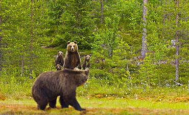 Brown bear (Ursus arctos) female and cub face a congener. Karelia, Finland