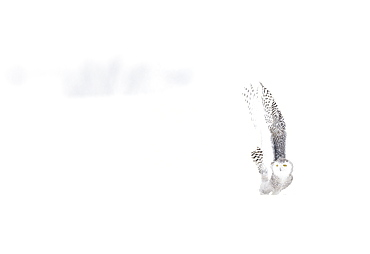 Snowy Owl (Nyctea scandiaca) in the snow, Scandinavia