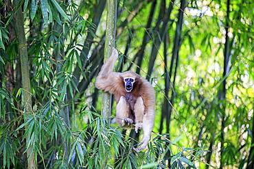 Western hoolock gibbon (Hoolock hoolock), female screaming in bamboo, Gumti wildlife sanctuary, Tripura state, India