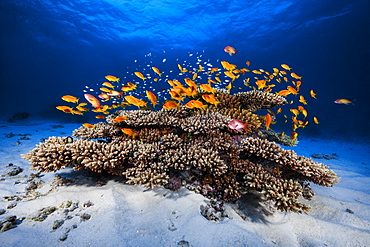 Colony of Sea Goldies (Pseudanthias squamipinnis) near its coral head, Mayotte, Indian Ocean