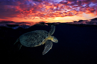 Green turtle (Chelonia mydas) swimming under the surface at dusk, Indian Ocean, N'Gouja Bay, Mayotte - 860-286857