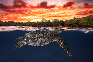 Green turtle (Chelonia mydas) swimming at the surface at dusk, Indian Ocean, N'Gouja Bay, Mayotte