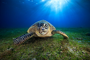 Green turtle (Chelonia mydas) on the bottom, Indian Ocean, N'Gouja Bay, Mayotte