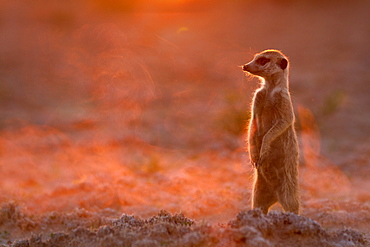 Meerkat looks up from digging to check for predators