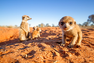 Meerkat pup with the babysitter in the background.