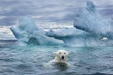 Polar Bear (Ursus maritimus) swimming near melting iceberg near Harbour Islands, Repulse Bay, Nunavut Territory, Canada