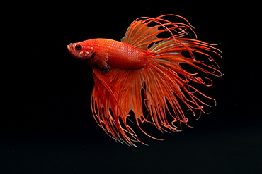 (Betta splendens), male on black background. crown tail red variety