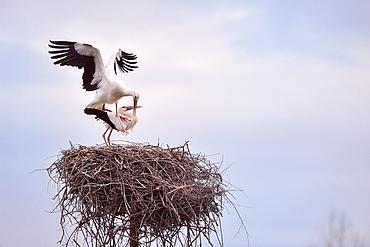 White Stork mating at nest