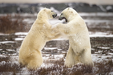 Clash of the titans - two fighting polar bears