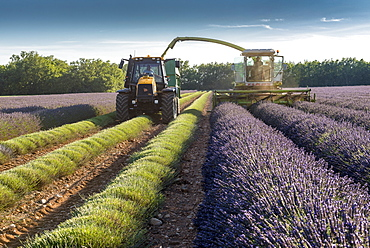 Harvest of lavandin, summer, Provence, France