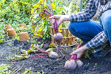 Harvest of red beets in a kitchen garden, Autumn, Pas-de-Calais, France