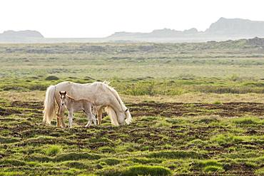 Icelandic pony mare and foal in the grass, Iceland