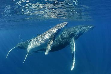 Humpback whale (Megaptera novaeangliae) and calf, Tonga Island, Vava'u, Pacific Ocean