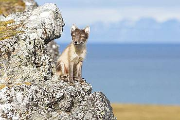 Arctic fox (Vulpes lagopus), Spitzbergen, Svalbard.