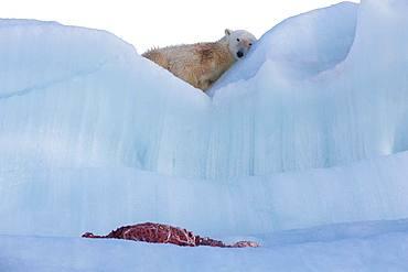 Polar bear (Ursus maritimus) with seal carcass on an iceberg, Wahlenbergfjord, Nordaustlandet, Spitzberg, Svalbard.