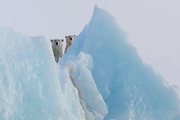 Polar bear (Ursus maritimus) female and cub on an iceberg, Wahlenbergfjord, Nordaustlandet, Spitzberg, Svalbard.