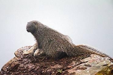 Egyptian mongoose (Herpestes ichneumon) with prey, Cordoba, Spain