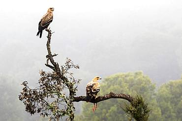 Spanish imperial eagle (Aquila adalberti) with prey on a branch, Cordoba, Spain