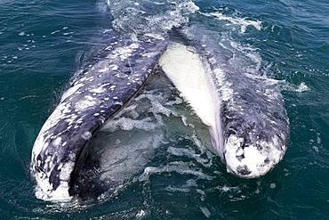 Gray Whale (Eschrichtius robustus), adult, mouth open behind the boat, Ojo de Liebre Lagoon (formerly known as Scammon's Lagoon), Guerrero Negro, Baja California Sur, Mexico