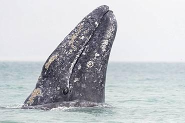 Gray Whale (Eschrichtius robustus), adult, spyhopping, Ojo de Liebre Lagoon (formerly known as Scammon's Lagoon), Guerrero Negro, Baja California Sur, Mexico