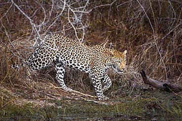 Leopard (Panthera pardus), Kruger National park, South Africa