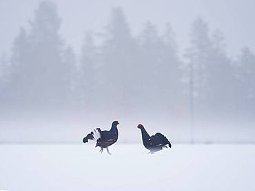 Two Black Grouse (Lyrurus tetrix) go head to head during the Lek in Norway.