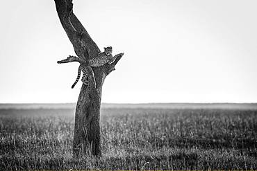 A young Cheetah (Acinonyx jubatus) rest high in the tree in the Maasai Mara in Kenya.
