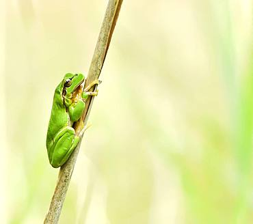 Tree frog (Hyla arborea) on reed, Alsace, France
