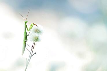 Praying mantis (Mantis religiosa) on flowers