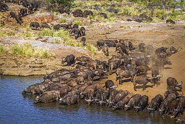 African buffalo (Syncerus caffer) in Kruger National park, South Africa
