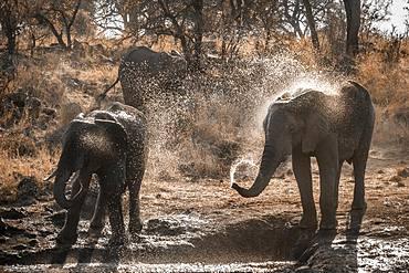 African bush elephant (Loxodonta africana) in Kruger National park, South Africa