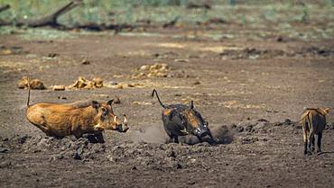 Common warthog (Phacochoerus africanus) in Kruger National park, South Africa