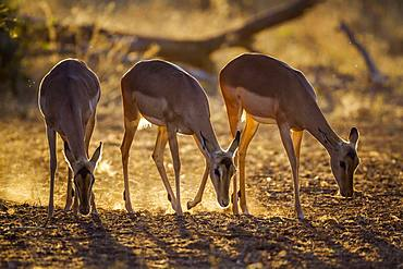 Common Impala (Aepyceros melampus) grazing, Kruger National park, South Africa
