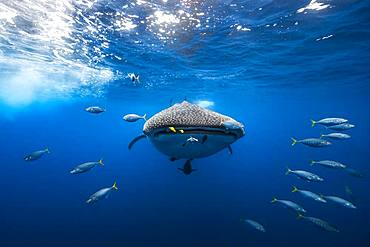 Whale shark (Rhincodon typus) escorted by a school of bonito, Nosy Be, Madagascar