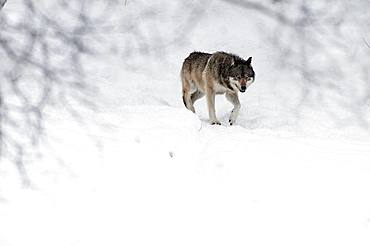 Grey wolf (Canis lupus) in the snow