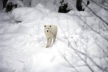 Arctic wolf (Canis lupus arctos) in the snow
