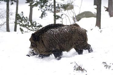 Wild Boar (Sus scrofa) in winter